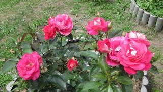 Мои цветы летом 2011 года