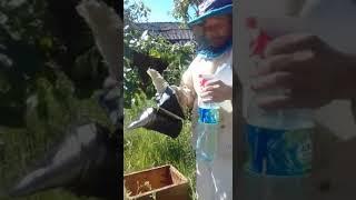 Сбор роя пчёл. Видео урок.