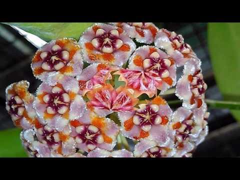 Hoya carnosa flowers (HD1080p)