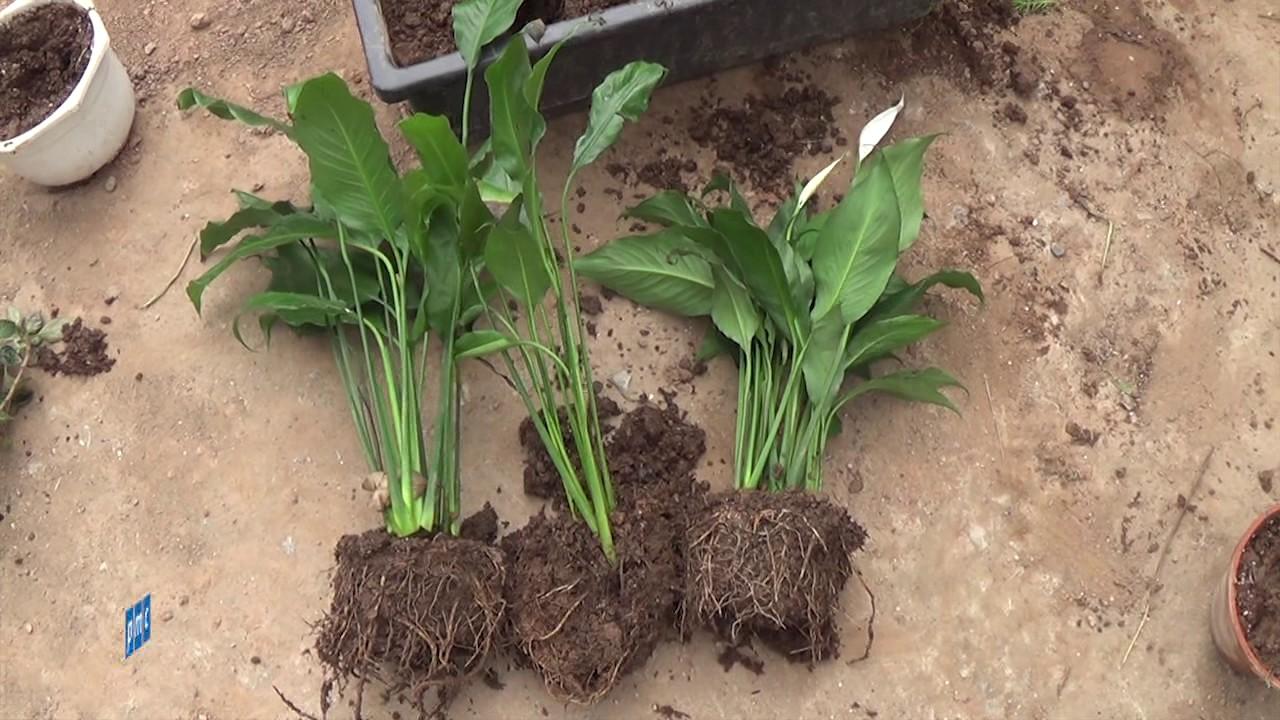 Cách trồng hoa lan ý