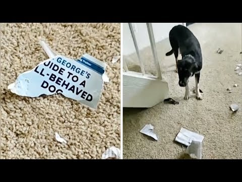 Maxwell - Dog Destroys Guide to a Well Behaved Dog