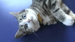 марсель и мисси! голубоглазая кошка и разноглазый шотландец