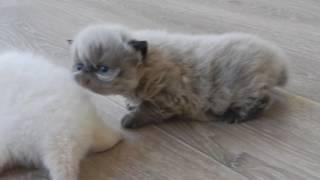 продажа котят. г.Клинцы