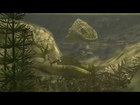 Ode to Eryops animation for 75th anniversary of the Society of Vertebrate Paleontologists