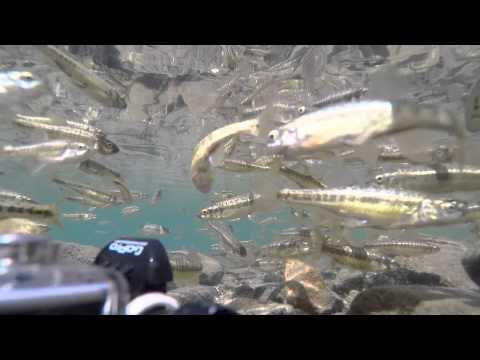 Fish at Rila Seven Lakes