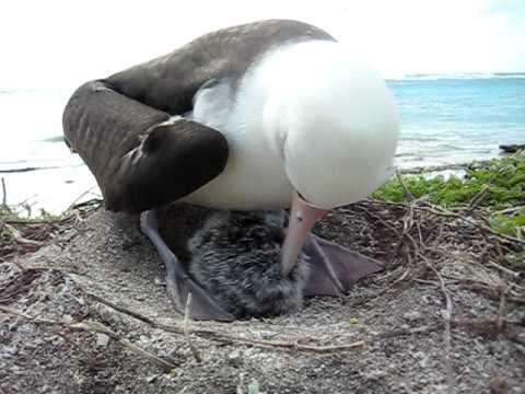 Laysan Albatross chick eats breakfast.AVI
