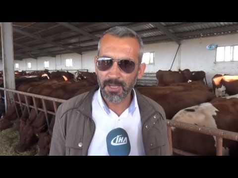 İsveç kırmızısı ineklerin verimi