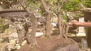 bang kumis siraja bonsai top markotop joos....!!!!