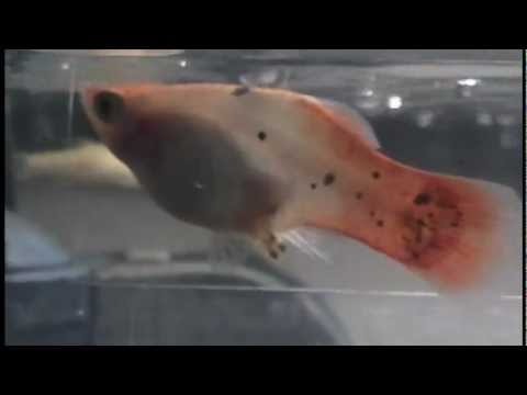 Platy Fish Giving Birth- UP CLOSE- 14 Births Caught On Camera