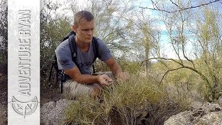 Collecting Medicinal Plants in the Desert: Jojoba, Brittlebush, and Mormon Tea