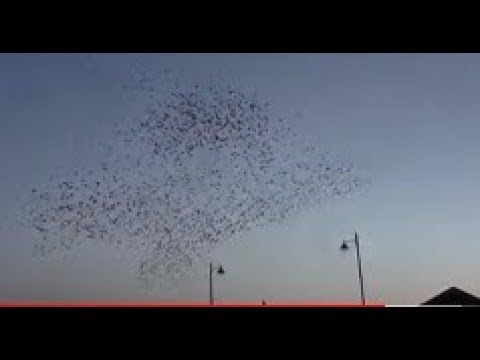 Starling Murmuration Sunset Display Albert Bridge Belfast