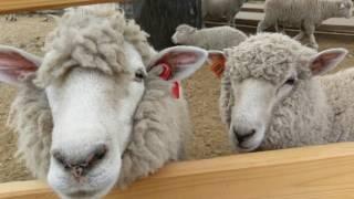 おもしろ鳴き声の羊さん達です。