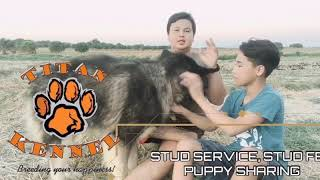 STUD SERVICE, FEES at PUPPY SHARING | Titan Paws Kennel