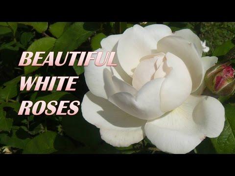 Прекрасные белые #розы.