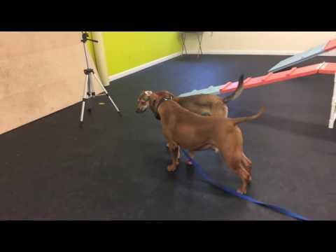 Training | Chief's awesome progress | Solid K9 Training Dog Training