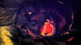 Rottweiler Oskars Teeth