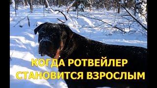 КОГДА РОТВЕЙЛЕР СТАНОВИТСЯ ВЗРОСЛЫМ.воспитание и дрессировка собак