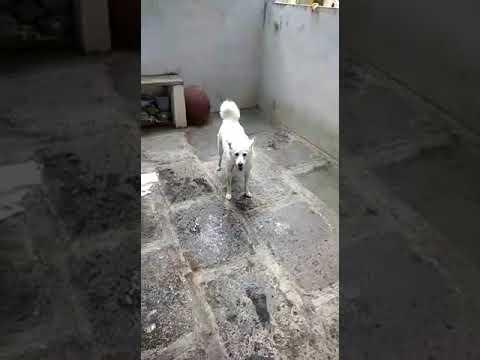 Funny Dog after Bath | Snoppy After Bath Compilation 2019| Dog Funny Compilation after bath