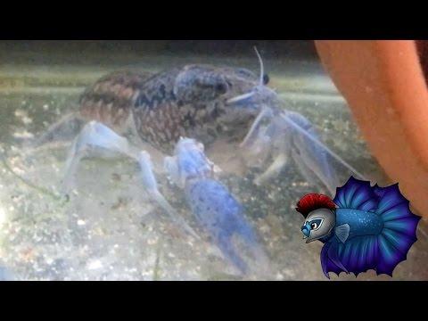 Marbled Crayfish Self Cloning Care Plus Breeding