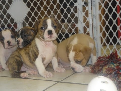 English Bulldog, Puppies, Dogs, For Sale, In Nashville, Tennessee, TN, 19Breeders, Clarksville