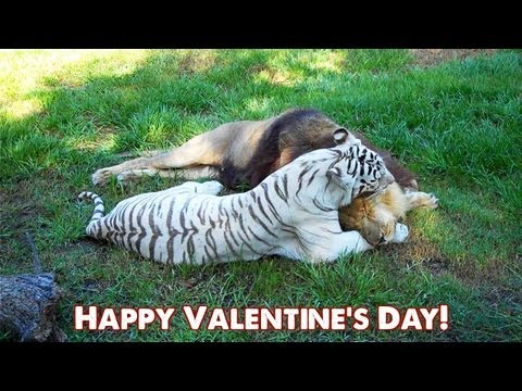 BIG CAT Valentines Day!