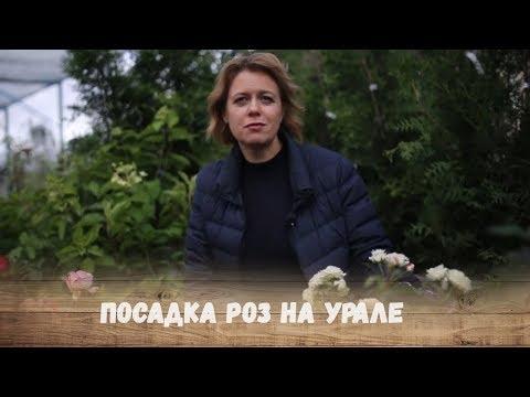 Вопрос: Можно ли уже снимать укрытие с роз на Урале Когда лучше это сделать?