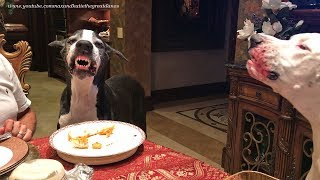 Funny Great Dane SMILES for a Chicken Treat