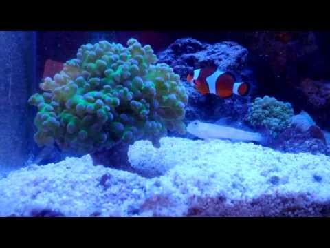 Orange Spot Goby Sand Sifting