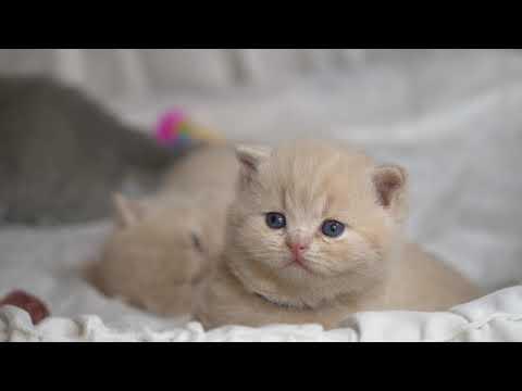 Британские котята в возрасте 3 недели (Litter-N2)