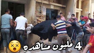 هروب عجل العيد و دمر المكان ! .. عيد الاضحي ٢٠٢٠