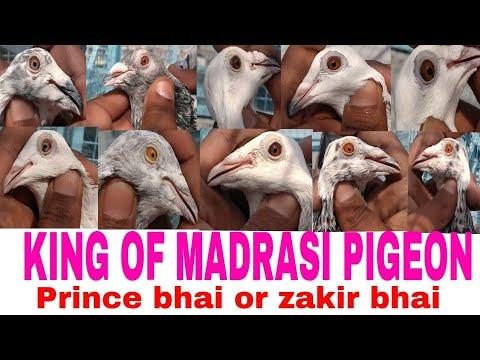 Prince bhai ke madrasi kabutar.with khalifa zakir ahmad.delhi