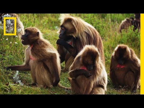 An Educational Video About Monkey Sex | National Geographic from YouTube · Duration:  1 minutes 57 seconds