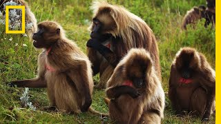 An Educational Video About Monkey Sex | National Geographic thumbnail