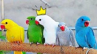 РУЧНЫЕ ОЖЕРЕЛОВЫЕ ПОПУГАИ (крамера)   + стенд (присада) для попугаев ручной работы