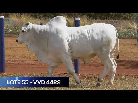 LOTE 55 - VVD4429 - NELORE