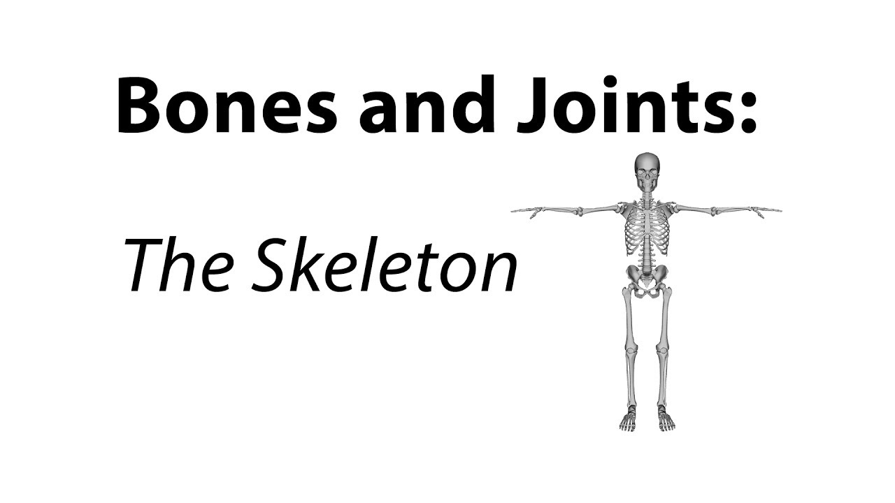 Bones And Joints The Skeleton Youtube