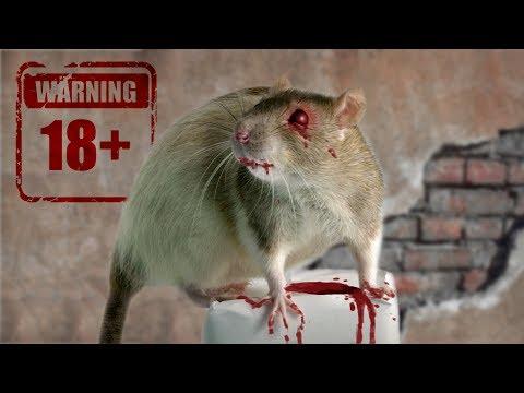 Крысиный волк (крысобой). Каннибализм среди крыс