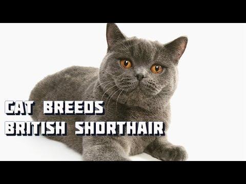 Cat Breeds - British Shorthair Cat