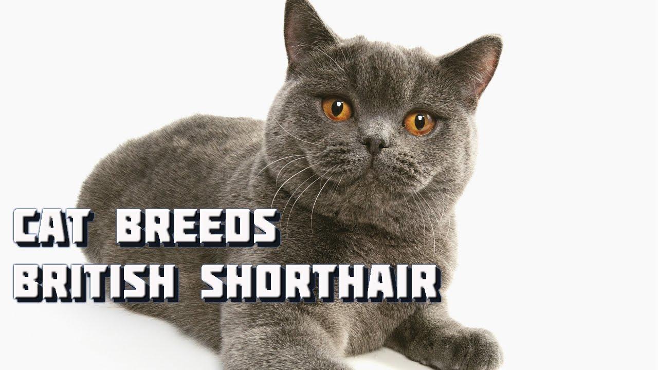 Cat Breeds British Shorthair Cat
