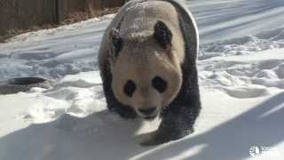 Repeat youtube video Toronto Zoo Giant Panda Loves The Snow
