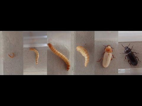 "Documentary: ""Mealworm to Beetle: Ontogeny""   ||   Dokumentation: ""Mehlwurm zu Käfer: Ontogenese"""