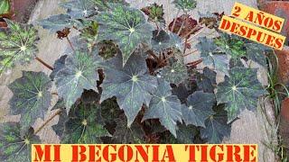 Así creció mi Begonia Tigre Después de 2 años / Aprendiendo a Cuidar