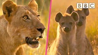 Lioness defends herself against hyenas 😲 Serengeti II - BBC