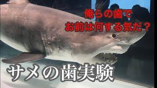 サメの歯を鶏肉にぶっ刺したら本当に切れるのか?検証サメ実験! thumbnail