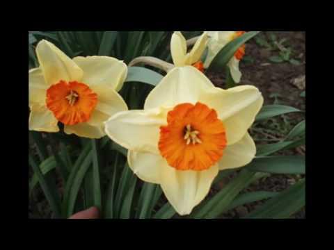 Цветы. Нарциссы в моём саду. Ранние красивые луковичные цветы - нарциссы.