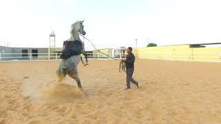 الحلقة الثانية من عسف ( حصان فيه اطباع سيئة الهجوم والعض ) ركوبه وامتطائه بدون رفض