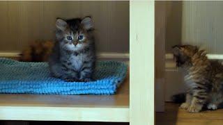 Siberian Kittens playing