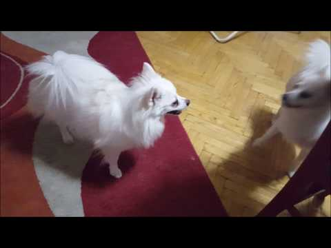 German Spitz: Girls have fun!