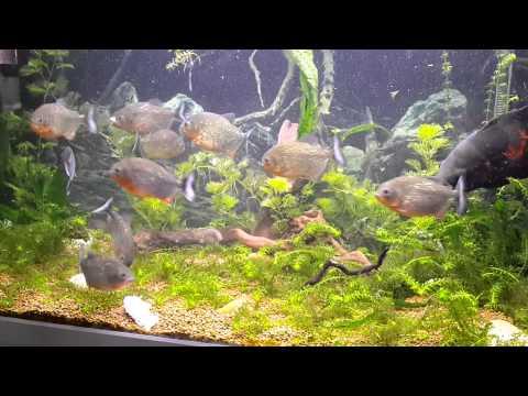 Piranhas Eat an African Cichlid Alive (Wild)