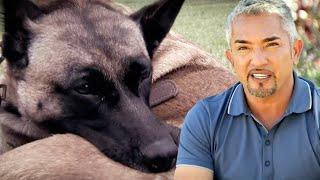 Cesar Millan Helps A Dog With Phantom Pregnancies Who Bites Herself